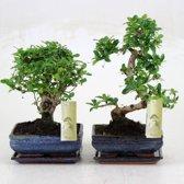 FloraStore Bonsai Carmona - Stamvorm: S - Japanse Keramiek Pot - Schotel - ↑ 35CM - Pot Ø 20 CM