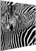 Zebra zwart-wit  Aluminium 60x40 cm - Foto print op Aluminium (metaal wanddecoratie)