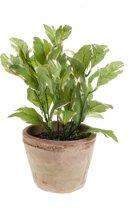 Emerald - Laurier plant - In aardewerk pot - 25 cm - groen