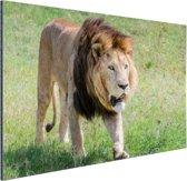 Lopende leeuw Aluminium 90x60 cm - Foto print op Aluminium (metaal wanddecoratie)
