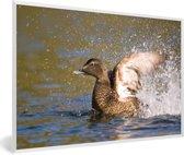 Foto in lijst - De eidereend klapt met zijn vleugels in het water fotolijst wit 60x40 cm - Poster in lijst (Wanddecoratie woonkamer / slaapkamer)