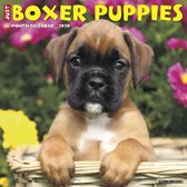 Just Boxer Puppies 2020 Wall Calendar (D