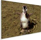 Ringtaling kuiken strekt zijn vleugeltjes Plexiglas 90x60 cm - Foto print op Glas (Plexiglas wanddecoratie)
