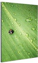Lieveheersbeestje op blad met druppels Aluminium 120x180 cm - Foto print op Aluminium (metaal wanddecoratie) XXL / Groot formaat!