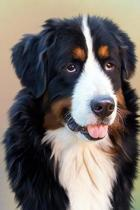 Beautiful Profile of a Bernese Mountain Dog Journal