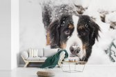 Fotobehang vinyl - Berner Sennenhond in een sneeuwlandschap breedte 450 cm x hoogte 300 cm - Foto print op behang (in 7 formaten beschikbaar)