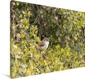Timalia hoog in een boom Canvas 140x90 cm - Foto print op Canvas schilderij (Wanddecoratie woonkamer / slaapkamer)