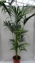 Howea Forsteriana; Totale hoogte 160-180cm hoogte incl. Ø 28 cm pot | Kentia palm ( Ideaal voor binnen )