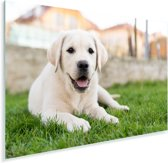Witte Labrador Retriever die in het gras ligt Plexiglas 120x80 cm - Foto print op Glas (Plexiglas wanddecoratie)