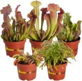 Swampworld Vleesetende Planten Mix P9 - 5 stuks + Gekleurde Potten
