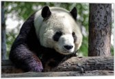 Dibond –Panda– 60x40 Foto op Dibond;Aluminium (Wanddecoratie van metaal)