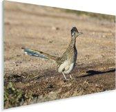 Renkoekoek op een droge vlakte Plexiglas 90x60 cm - Foto print op Glas (Plexiglas wanddecoratie)