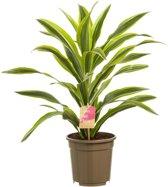 Hee Dat Is Het | Drakenbloedboom Dracaena deremensis Lemon Lime Pot 17cm; Hoogte incl