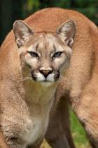 Mountain Lion Journal