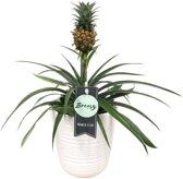 Choice of Green - Bromelia Ananasplant Corona - Kamerplant in Witte Keramiek Pot ø13 cm - Hoogte Bromelia ↕ 38 cm