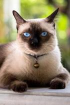 Siamese: Cat - 2020 Weekly Calendar - 12 Months - 107 pages 6 x 9 in. - Planner - Diary - Organizer - Agenda - Appointment - Ha