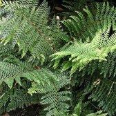 6 x Polystichum Setiferum 'Dahlem' - Schildvaren pot 9x9cm