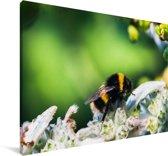 Hommel opzoek naar voedsel Canvas 90x60 cm - Foto print op Canvas schilderij (Wanddecoratie woonkamer / slaapkamer)