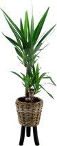 PLANT IN A BOX Yucca 'Elephantipes' inclusief gevlochten mand 'Lex' - 1 stuk - Hoogte ↕ 105 - 115 cm