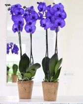 1+1 GRATIS ORCHIDEE PURPLE