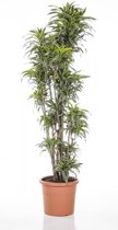 Dracaena Compacta Surprise 3XL