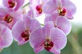 Saunageur Opgiet Orchidee 100ml