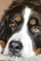 The Loving Eyes of a Bernese Mountain Dog Journal