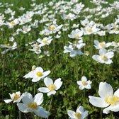 6 x Anemone sylvestris - Bosanemoon pot 9x9 cm