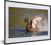 Foto in lijst - De eidereend klapt met zijn vleugels in het water fotolijst zwart met witte passe-partout klein 40x30 cm - Poster in lijst (Wanddecoratie woonkamer / slaapkamer)