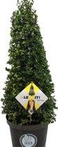 Ilex crenata 'Dark green'® piramide 60/70 cm
