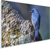 Een blauwe Azuurvliegenvanger zit op een rots Plexiglas 60x40 cm - Foto print op Glas (Plexiglas wanddecoratie)