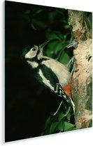 Een grote bonte specht tegen boom Plexiglas 80x120 cm - Foto print op Glas (Plexiglas wanddecoratie)