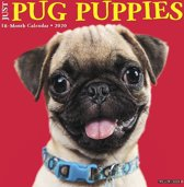 Mopshond Puppies Kalender 2020