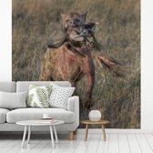 Fotobehang vinyl - Hyena met prooi in de Ngorongoro krater breedte 300 cm x hoogte 300 cm - Foto print op behang (in 7 formaten beschikbaar)