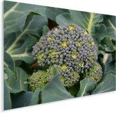 Een groeiende broccoli in de natuur Plexiglas 40x30 cm - klein - Foto print op Glas (Plexiglas wanddecoratie)