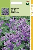 Hortitops Zaden - Kattekruid (Nepeta mussinii)