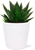 Aloe Flow kamerplant met bijhorende terracotta pot (Wit - Potmaat 10,5cm)