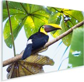 Een toekan zit in de zon in een boom Plexiglas 60x40 cm - Foto print op Glas (Plexiglas wanddecoratie)