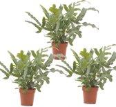 Lucht zuiverende varen (Phlebodium) - plant is 35 cm hoog - per 3 stuks