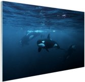 Orkas onder water Glas 90x60 cm - Foto print op Glas (Plexiglas wanddecoratie)