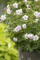 12x Geranium cantabrigiense Biokovo  - Ooievaarsbek in 9x9cm pot