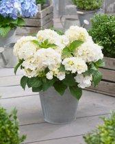 12x Hydrangea mcrophylla 'Little White' - Dwerg Hortensia in 2 liter pot