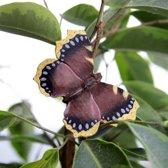 Vlindermagneet rouwmantel - set van 2 stuks