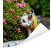 Een Yorkshire Terrier loopt langs kleurrijke bloemen Poster 100x100 cm - Foto print op Poster (wanddecoratie woonkamer / slaapkamer) / Huisdieren Poster