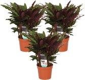 Calathea Rufibarba 'Elger Grass' - Set Van 3 - ↑ 40-50cm - Ø 12cm