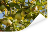 Een guave boom in volle glorie in het zonnige Californië Poster 120x80 cm - Foto print op Poster (wanddecoratie woonkamer / slaapkamer)