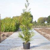 Coniferen 'Brabant' - 'Thuja occidentalis Brabant' per twee meter (5 stuks) 180 - 200 cm totaalhoogte