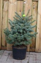 Kerstboom Warentuin Picea Pungens 60 - 80 cm Warentuin Natuurlijk