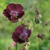 6 x Geranium Phaeum -  Donkere Ooievaarsbek pot 9x9cm