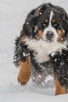 Bernese Mountain Dog Running in Snow Journal